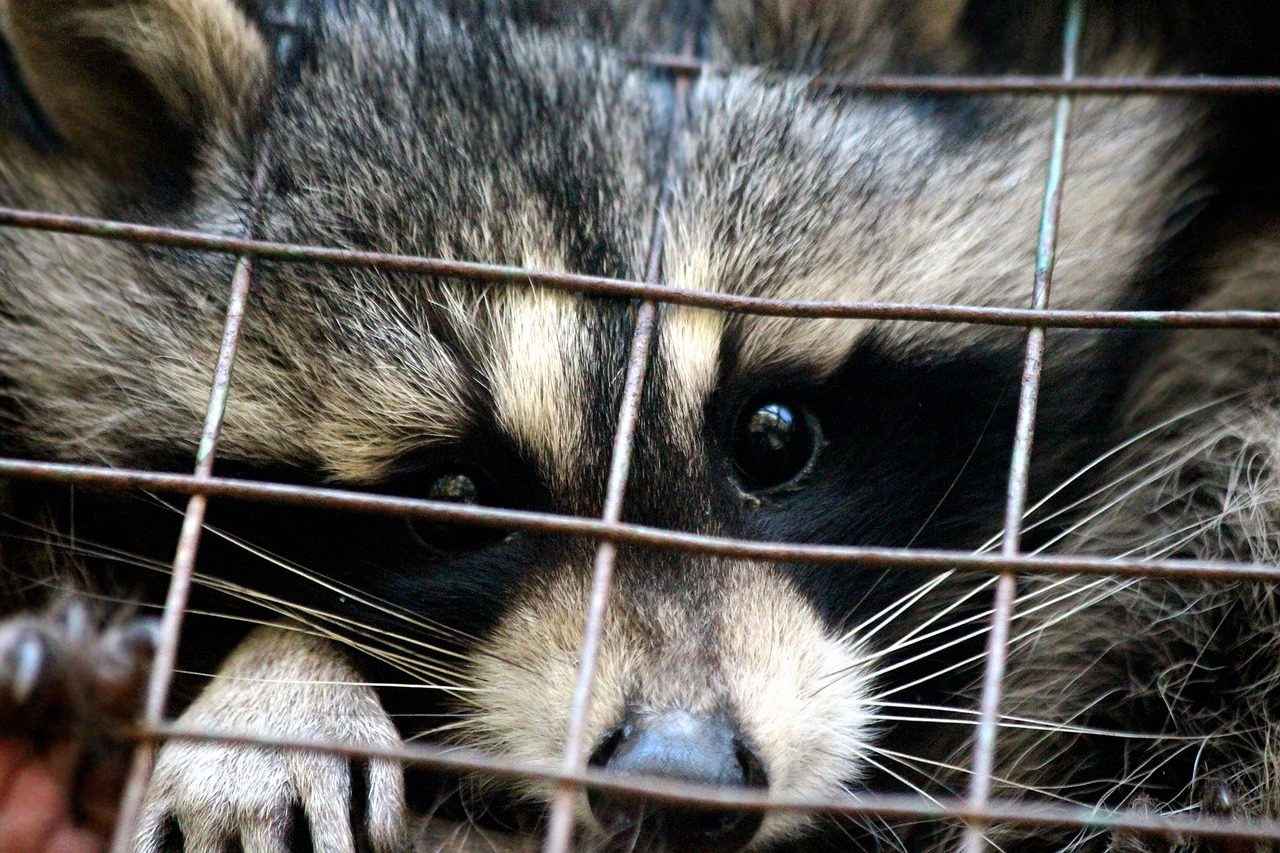 raccoon-3415163_1280